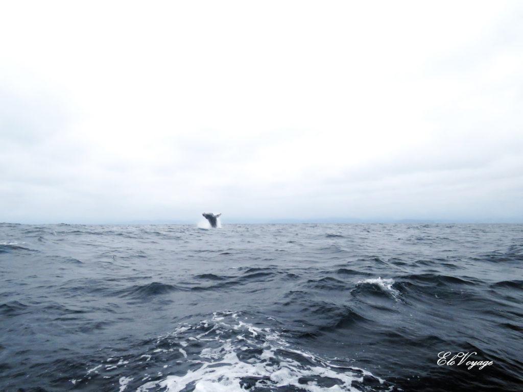 observation des baleines à puerto lopez en équateur