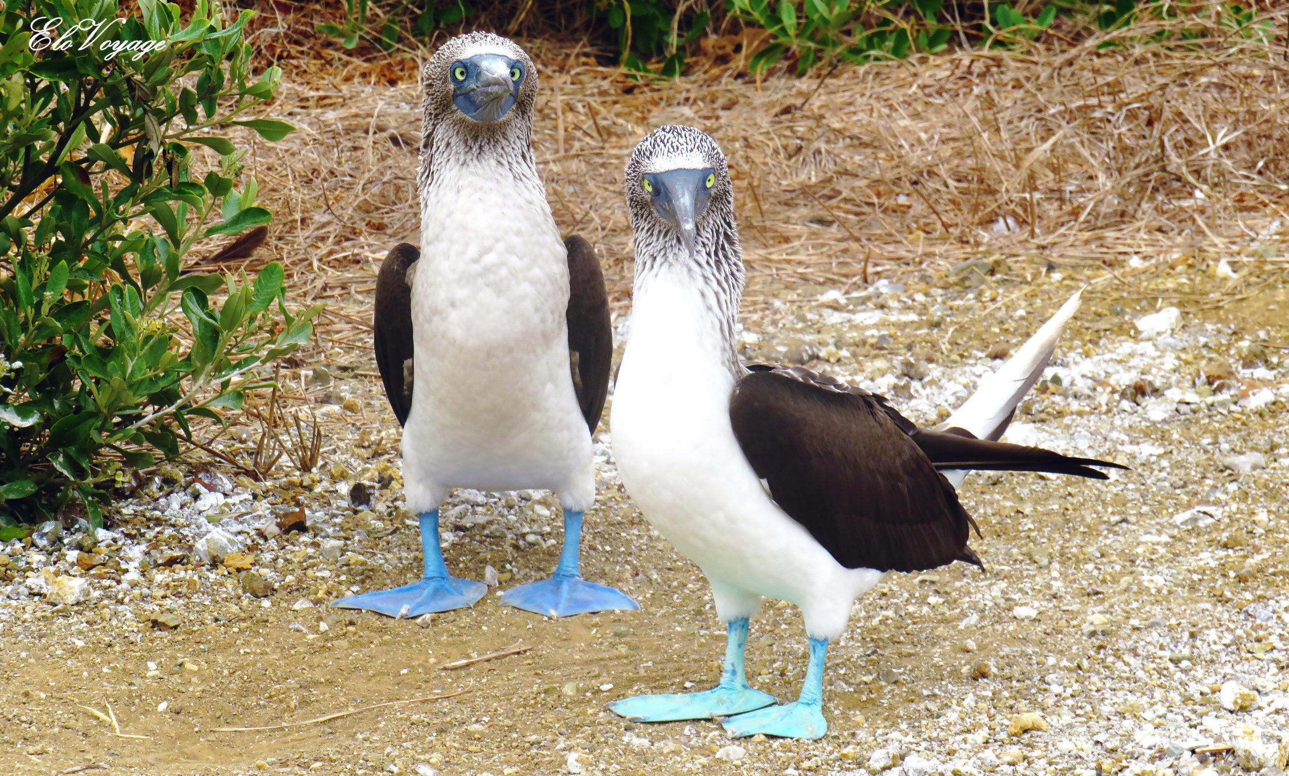 fous à pattes bleues isla de la plata équateur