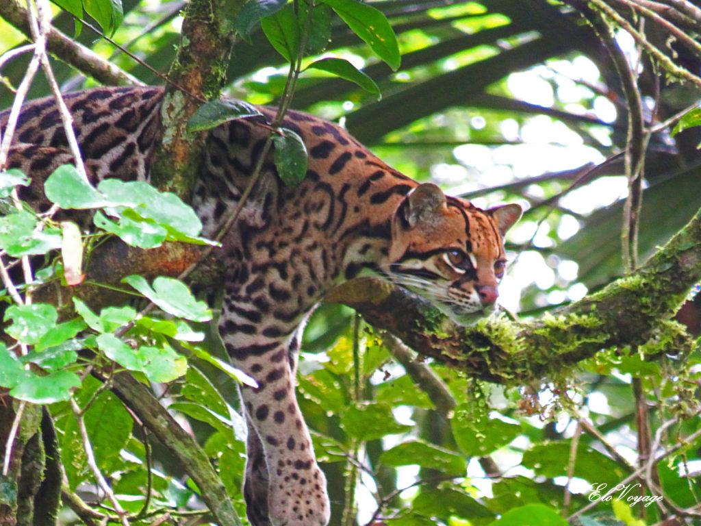 ocelot amazoonico animal rescue center équateur amazonie